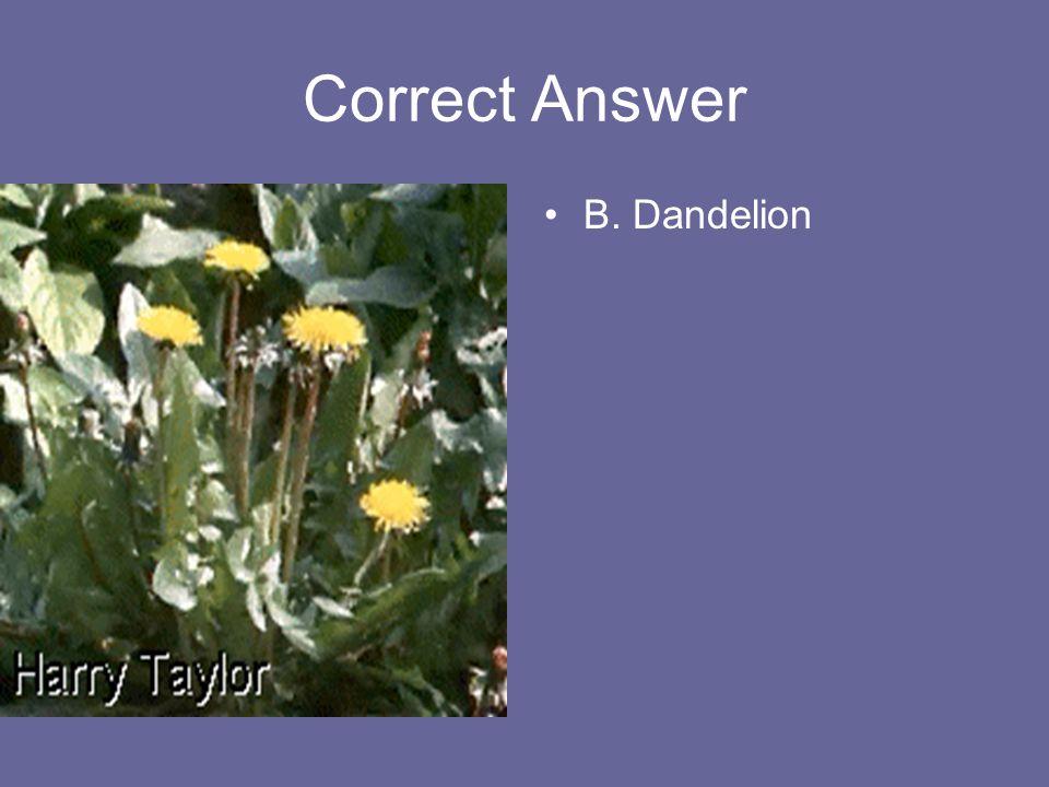 Correct Answer B. Dandelion