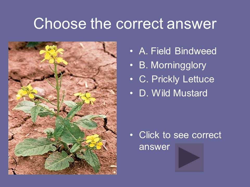 Choose the correct answer A. Field Bindweed B. Morningglory C. Prickly Lettuce D. Wild Mustard Click to see correct answer