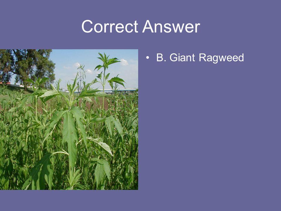 Correct Answer B. Giant Ragweed