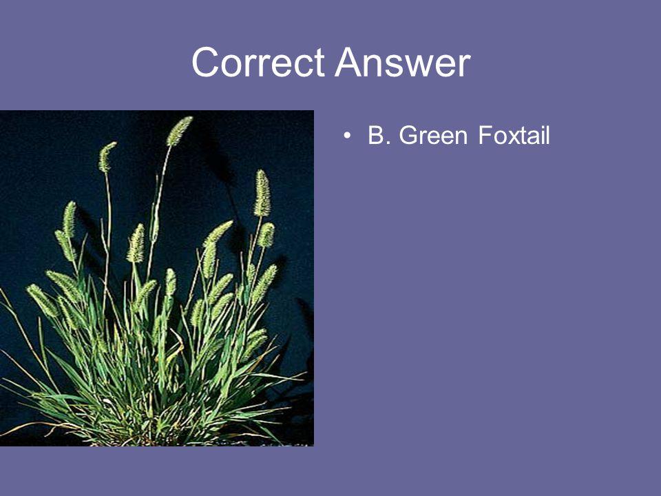 Correct Answer B. Green Foxtail