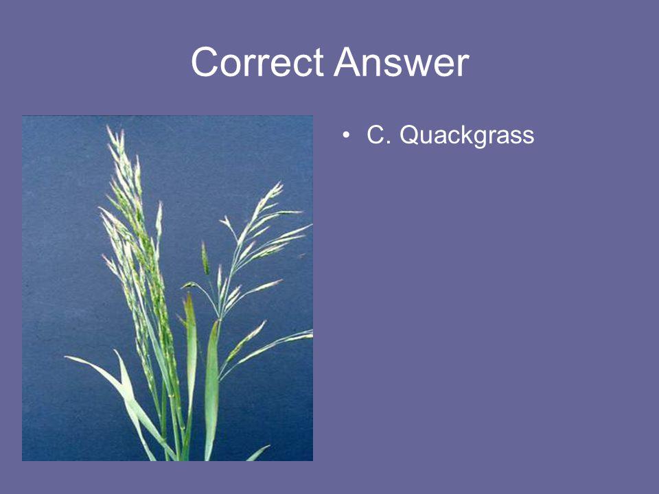 Correct Answer C. Quackgrass