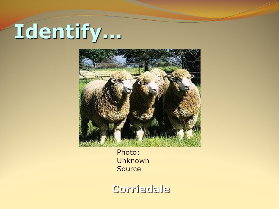 Identify… Corriedale Photo: Unknown Source