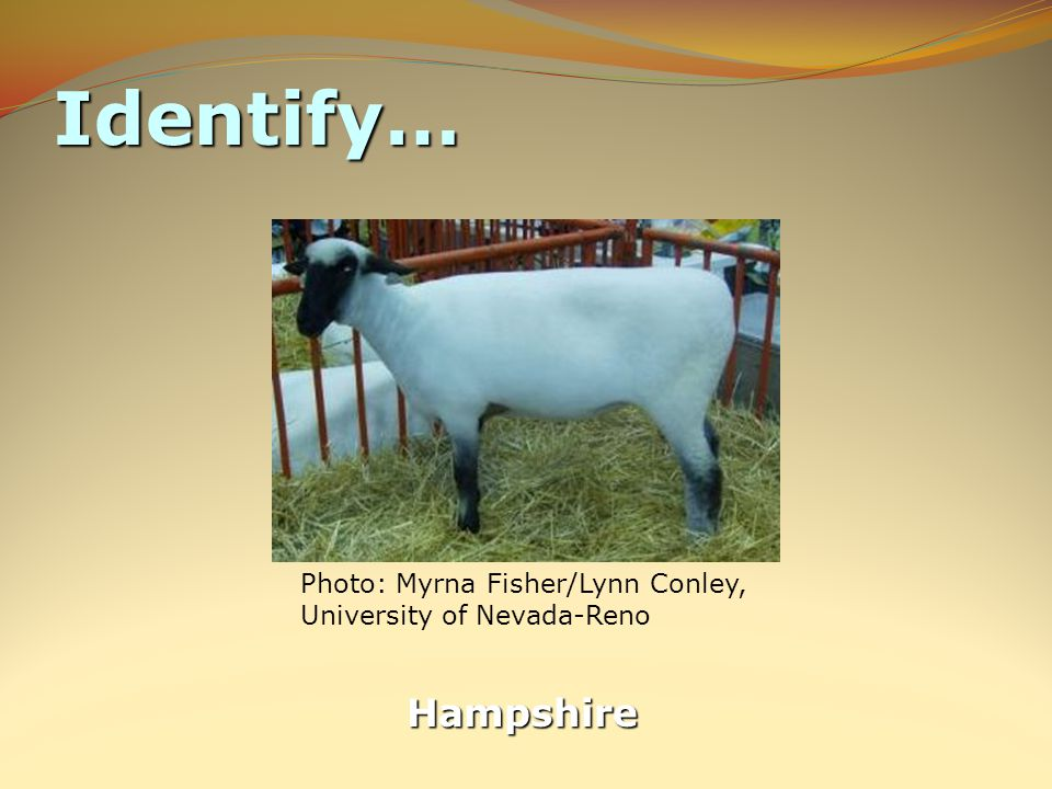 Identify… Hampshire Photo: Myrna Fisher/Lynn Conley, University of Nevada-Reno