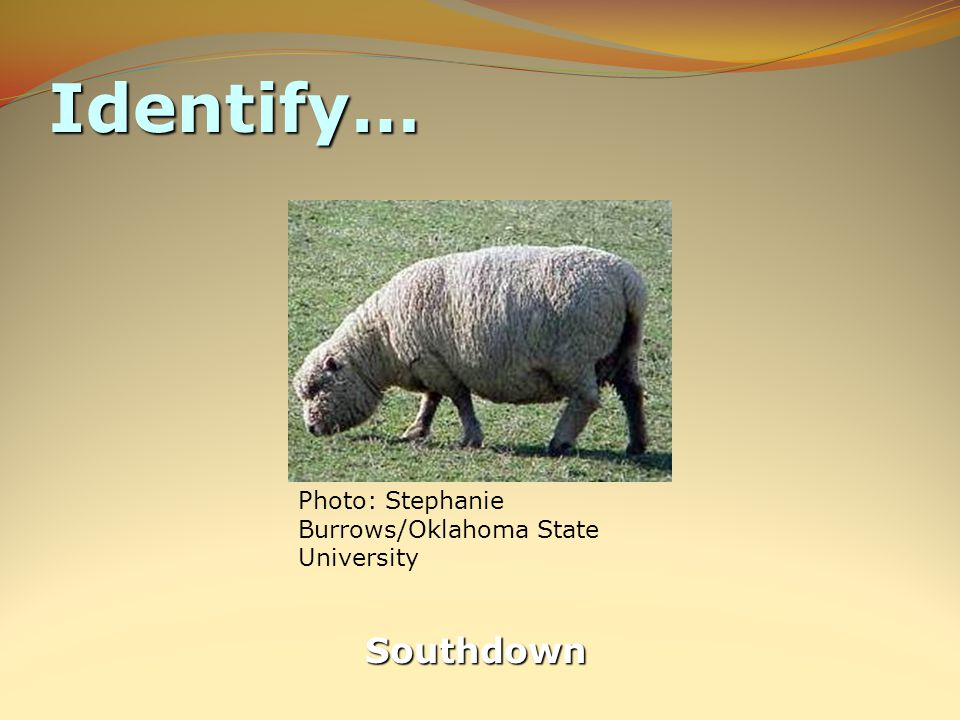 Identify… Southdown Photo: Stephanie Burrows/Oklahoma State University