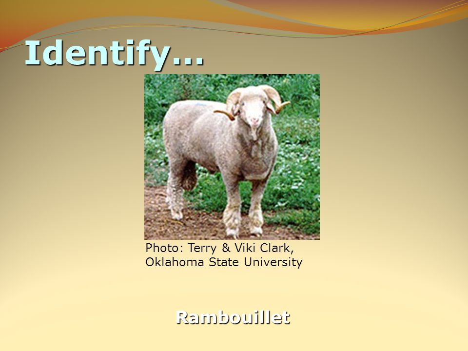Identify… Rambouillet Photo: Terry & Viki Clark, Oklahoma State University