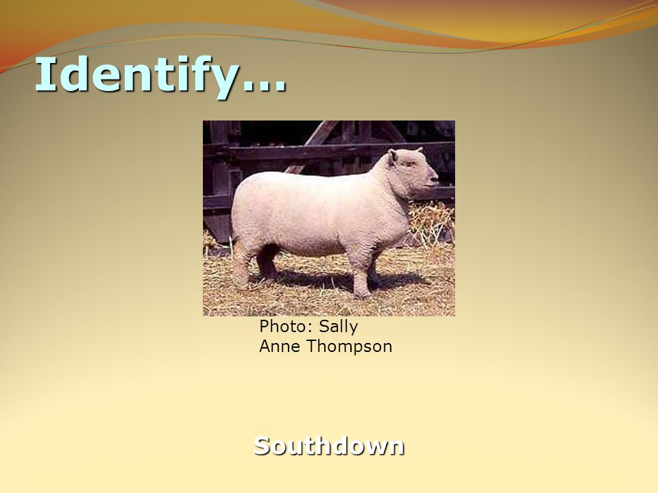Identify… Southdown Photo: Sally Anne Thompson