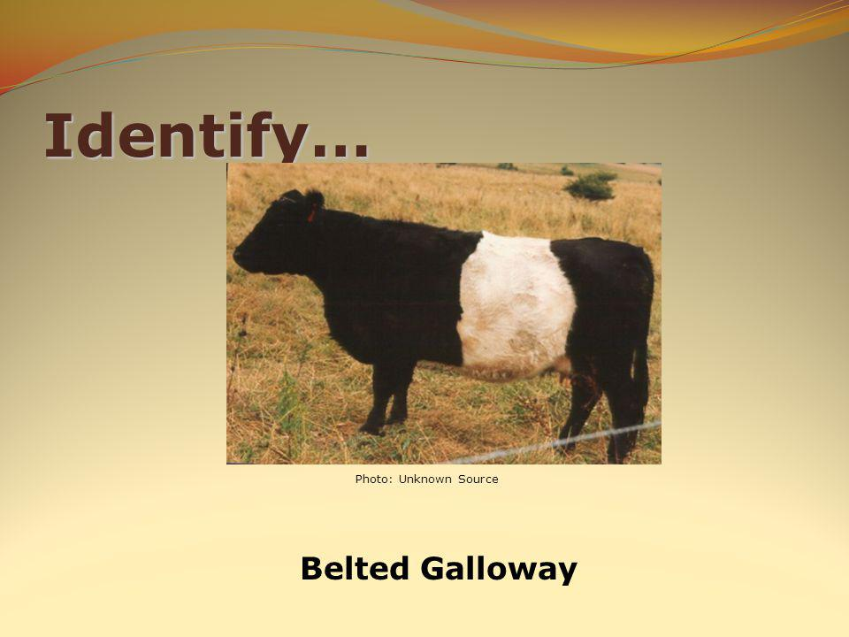 Identify… Belted Galloway Photo: Unknown Source