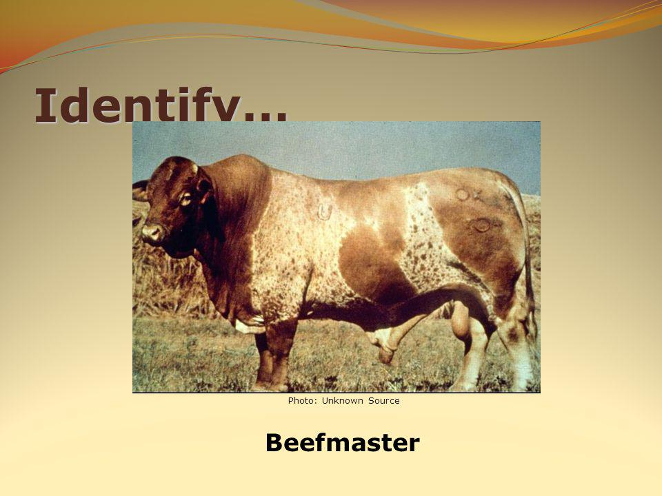 Identify… Beefmaster Photo: Unknown Source