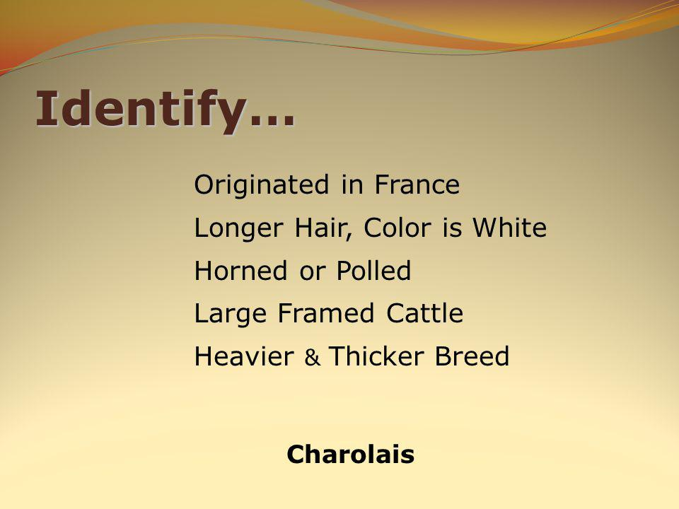 Identify… Charolais Originated in France Longer Hair, Color is White Horned or Polled Large Framed Cattle Heavier & Thicker Breed