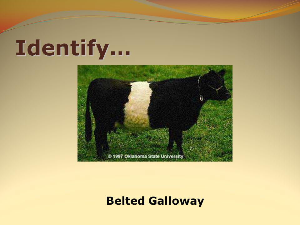 Identify… Belted Galloway