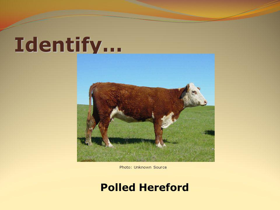 Identify… Polled Hereford Photo: Unknown Source