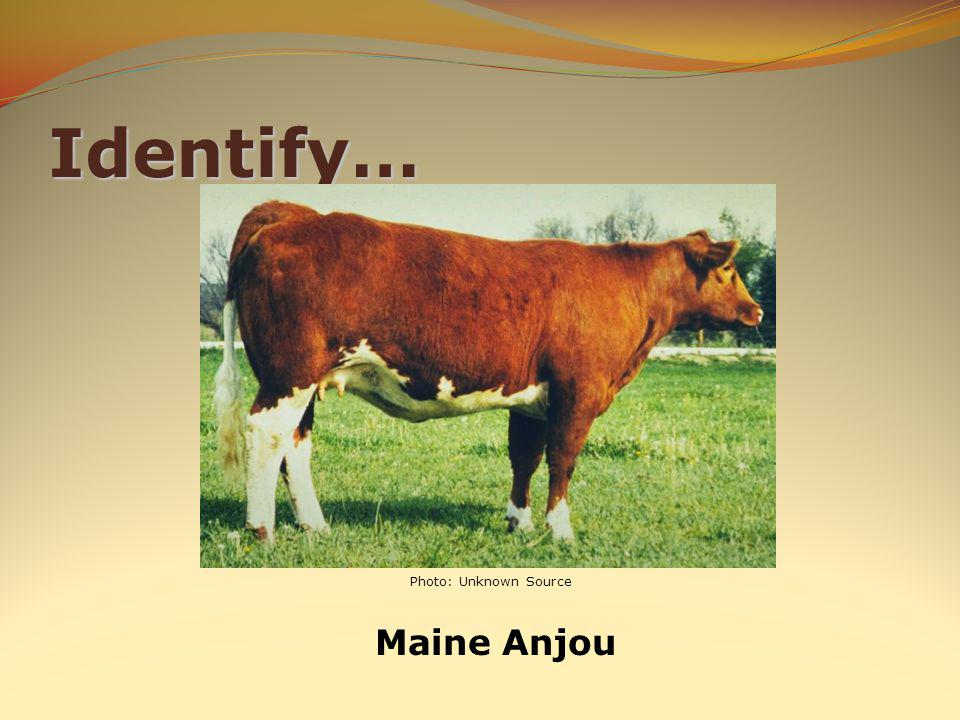 Identify… Maine Anjou Photo: Unknown Source