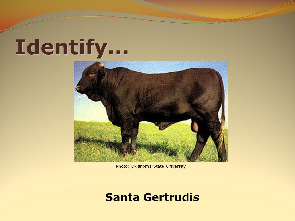 Identify… Santa Gertrudis Photo: Oklahoma State University