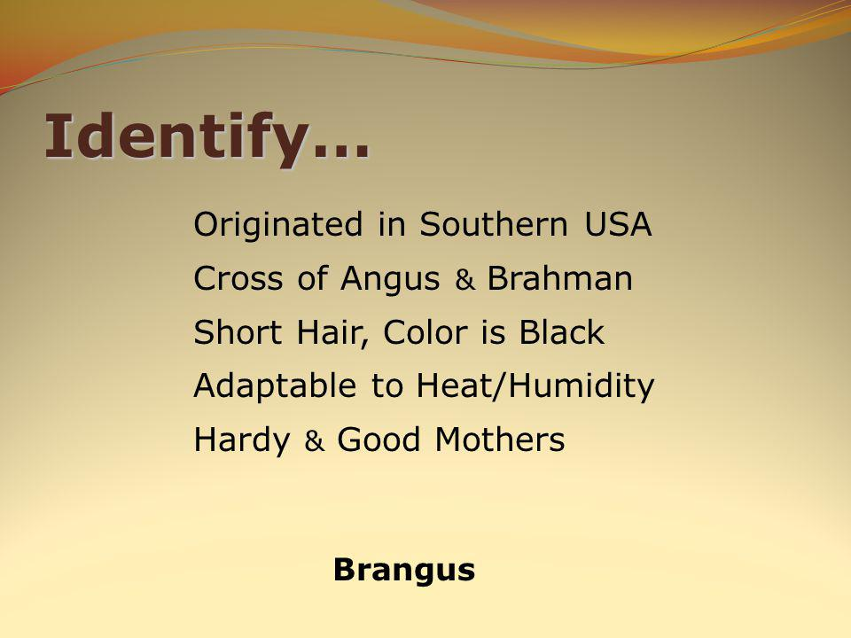 Identify… Brangus Originated in Southern USA Cross of Angus & Brahman Short Hair, Color is Black Adaptable to Heat/Humidity Hardy & Good Mothers
