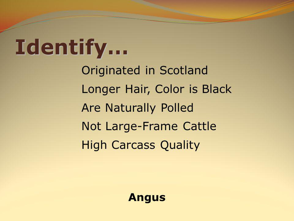Identify… Angus Originated in Scotland Longer Hair, Color is Black Are Naturally Polled Not Large-Frame Cattle High Carcass Quality