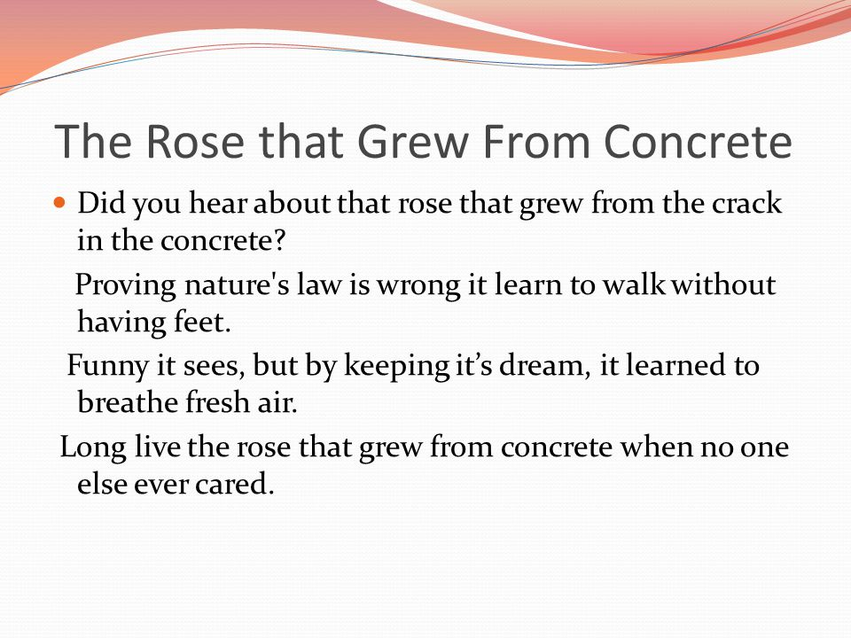 The Rose that Grew From Concrete Did you hear about that rose that grew from the crack in the concrete.