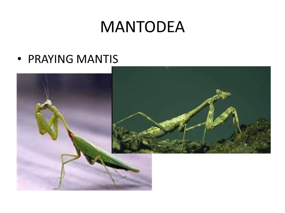 MANTODEA PRAYING MANTIS