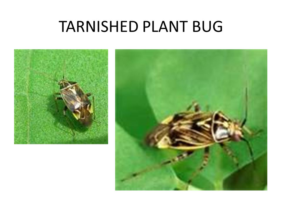TARNISHED PLANT BUG