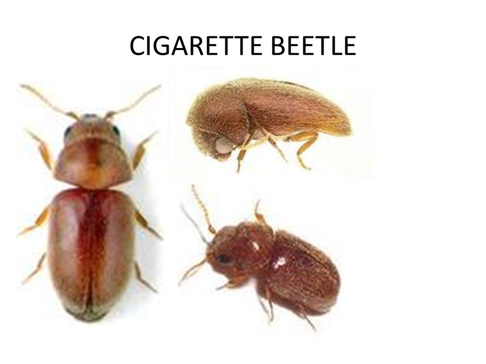 CIGARETTE BEETLE