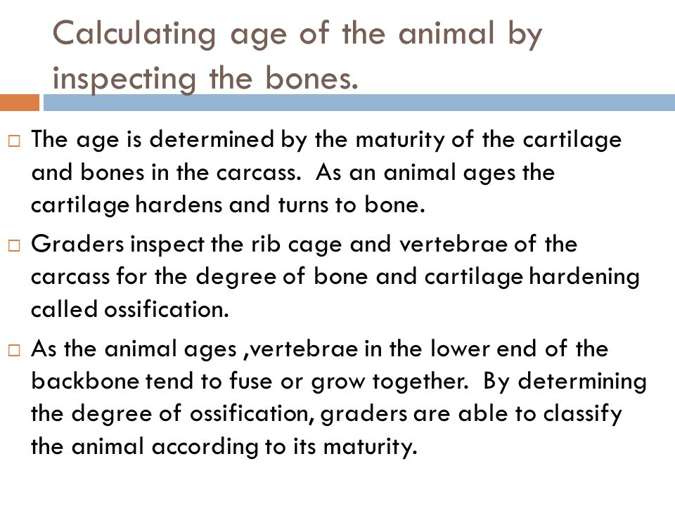 Calculating age of the animal by inspecting the bones. The age is determined by the maturity of the cartilage and bones in the carcass. As an animal a