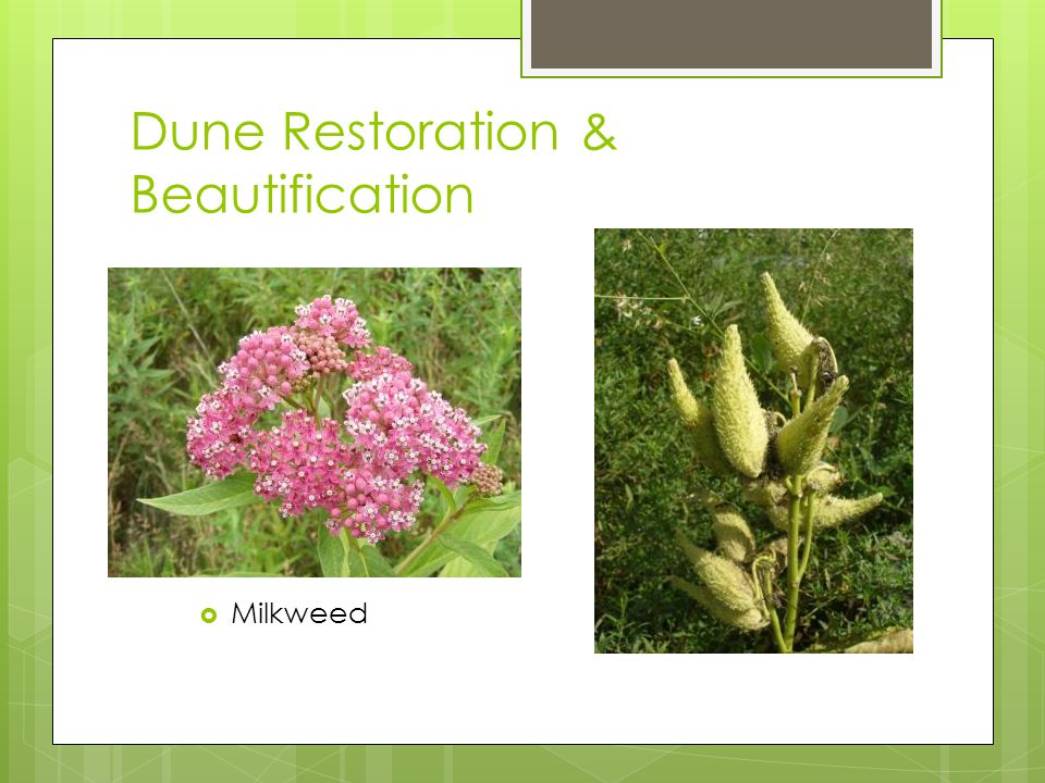Dune Restoration & Beautification Milkweed