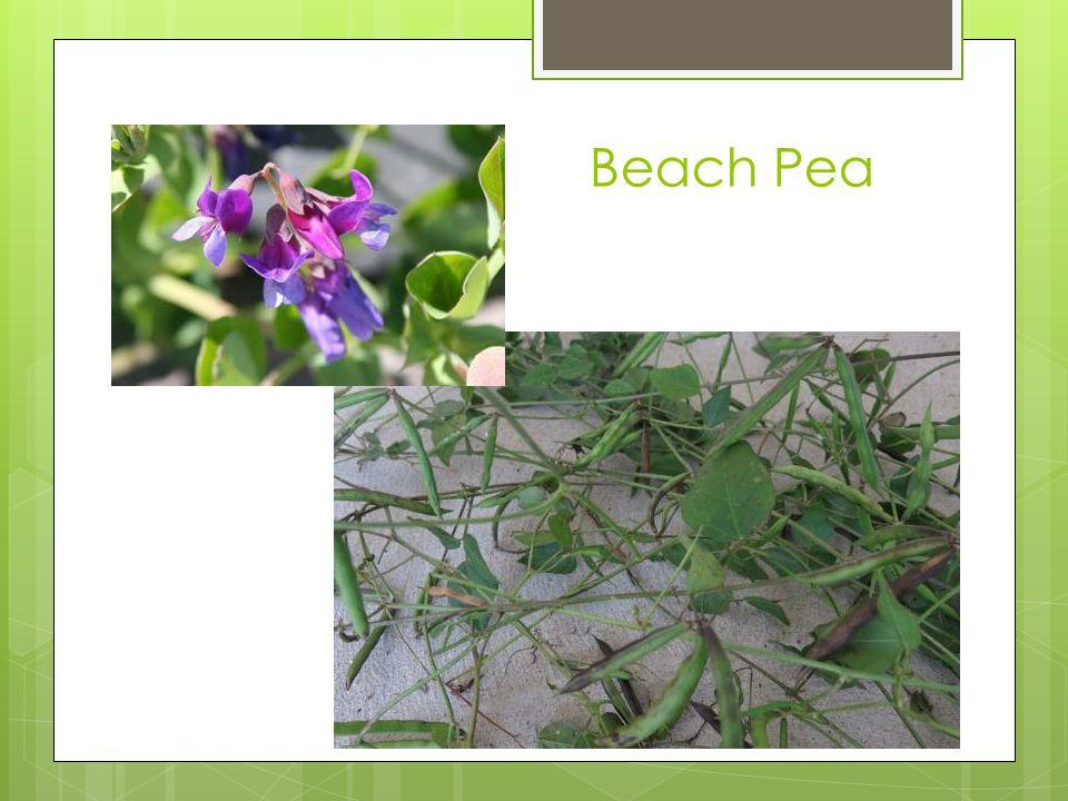 Beach Pea