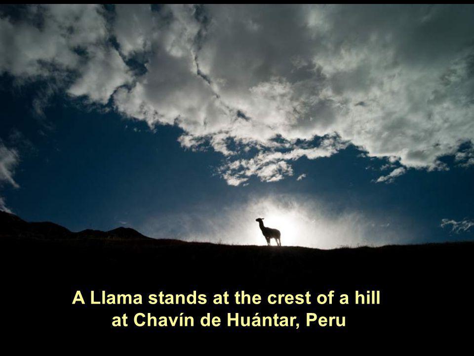 A Llama stands at the crest of a hill at Chavín de Huántar, Peru