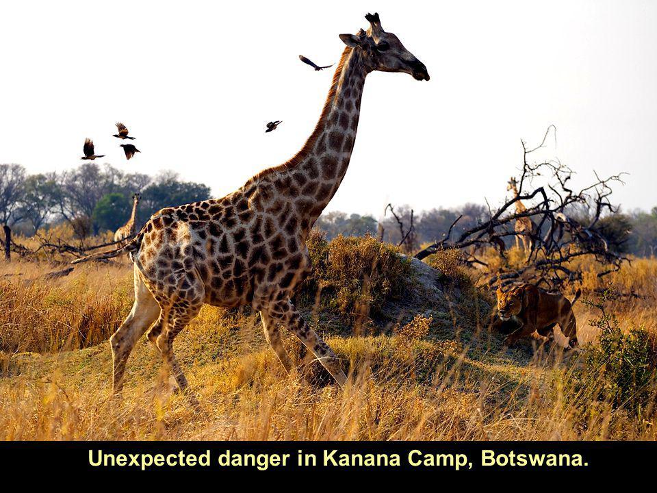 Unexpected danger in Kanana Camp, Botswana.