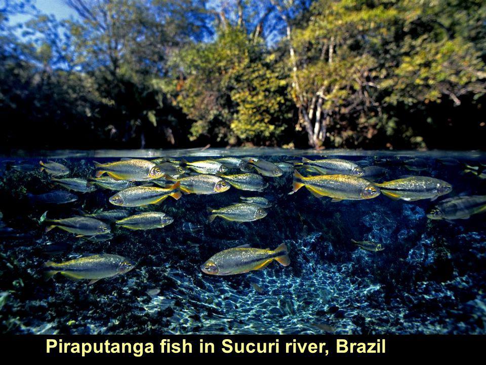 Piraputanga fish in Sucuri river, Brazil