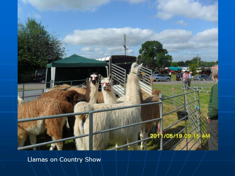 Llamas on Country Show