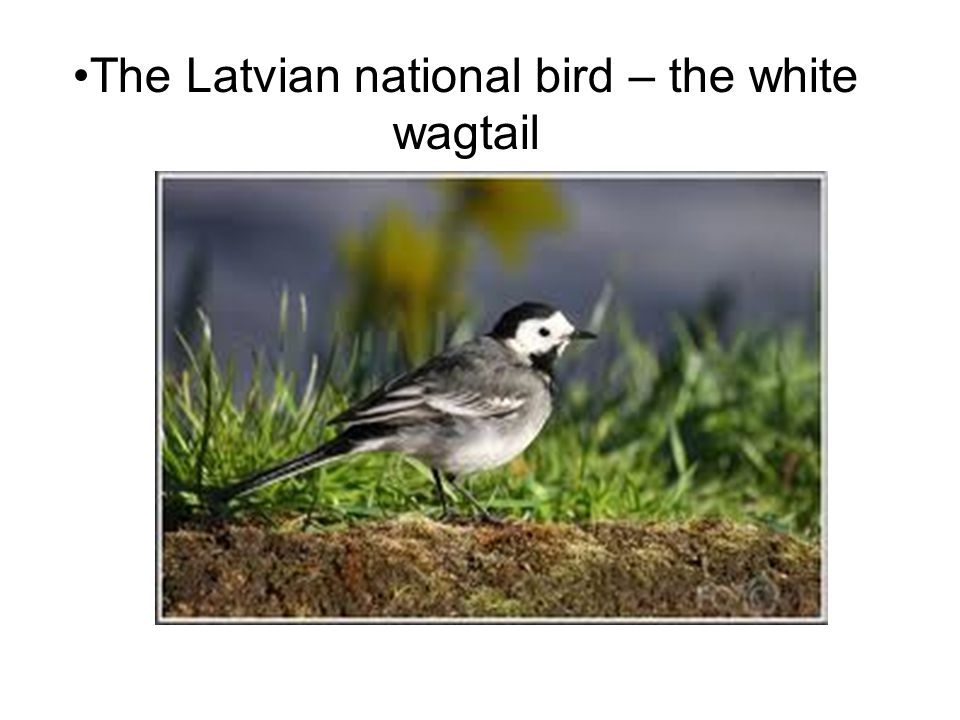The Latvian national bird – the white wagtail