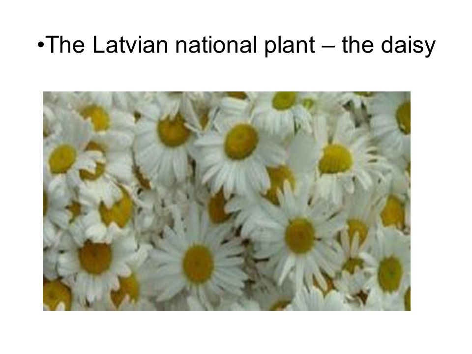 The Latvian national plant – the daisy