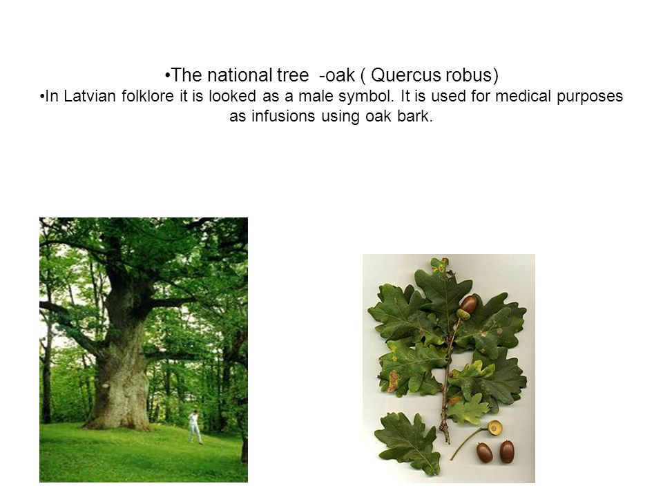 The national tree -oak ( Quercus robus) In Latvian folklore it is looked as a male symbol.