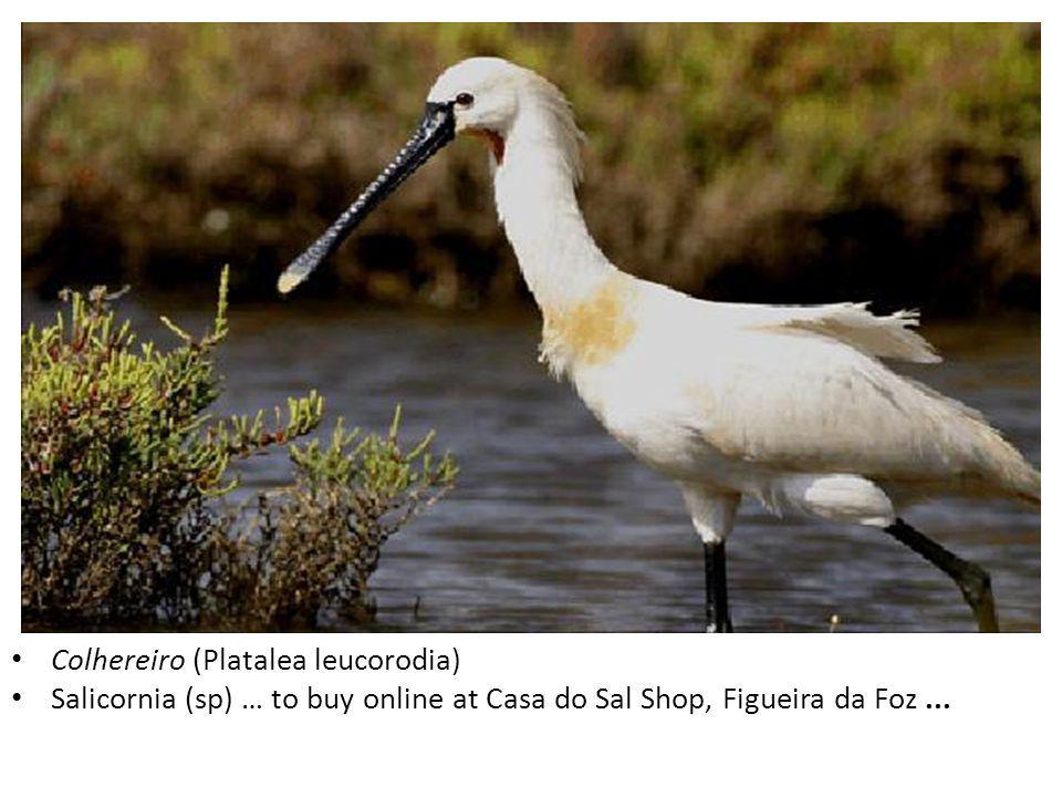 Colhereiro (Platalea leucorodia) Salicornia (sp) … to buy online at Casa do Sal Shop, Figueira da Foz...