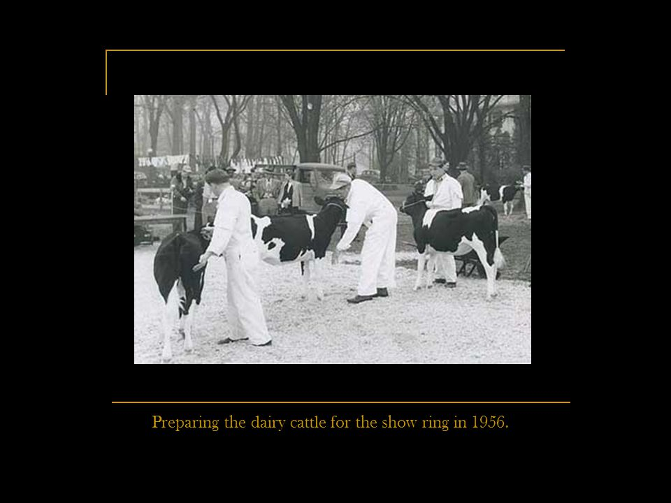 Preparing the dairy cattle for the show ring in 1956.