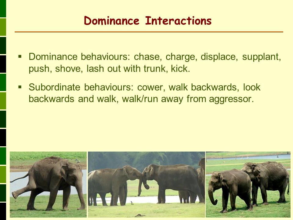 Dominance behaviours: chase, charge, displace, supplant, push, shove, lash out with trunk, kick.