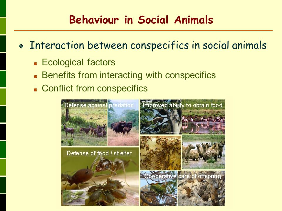 Behaviour in Social Animals Interaction between conspecifics in social animals Ecological factors Benefits from interacting with conspecifics Conflict from conspecifics