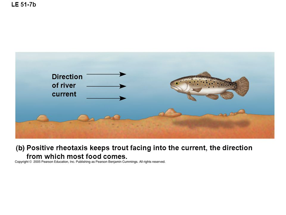 LE 51-7b Positive rheotaxis keeps trout facing into the current, the direction from which most food comes.