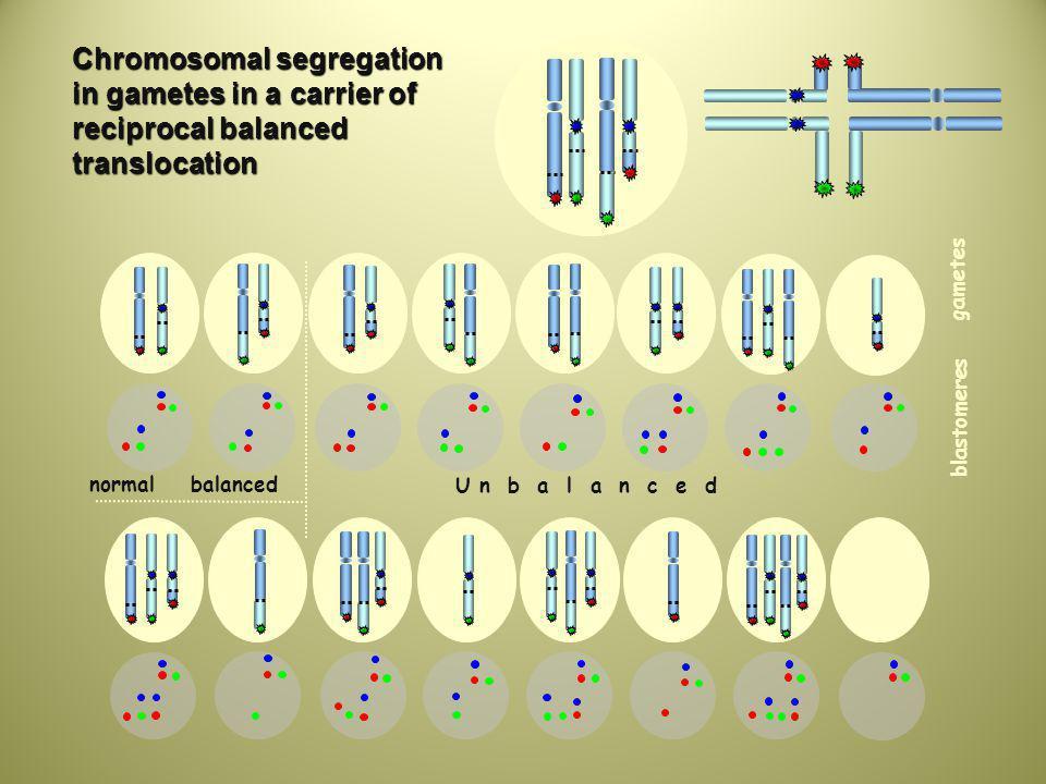 normal balanced U n b a l a n c e d 16 blastomeres gametes Chromosomal segregation in gametes in a carrier of reciprocal balanced translocation