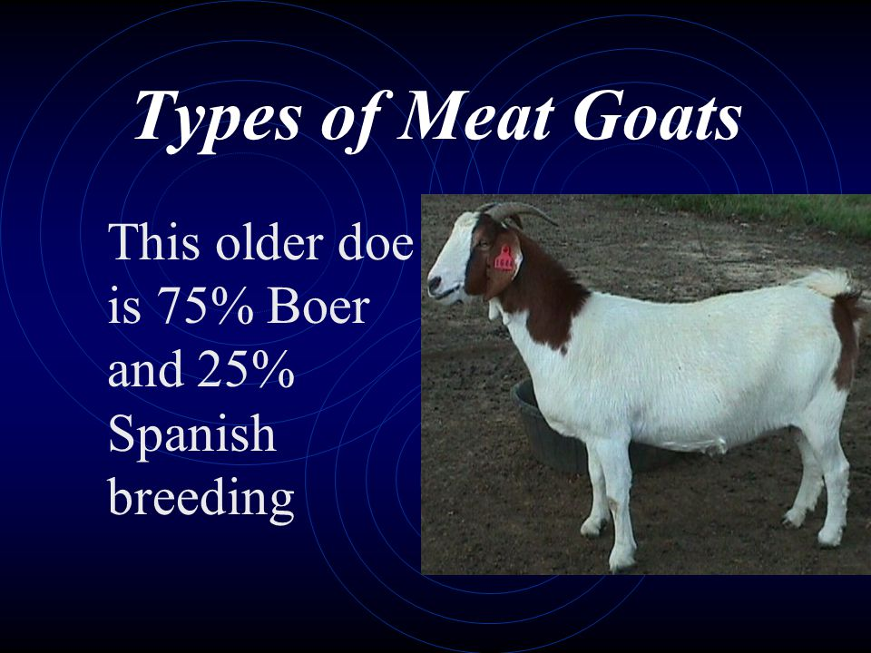 Types of Meat Goats This older doe is 75% Boer and 25% Spanish breeding