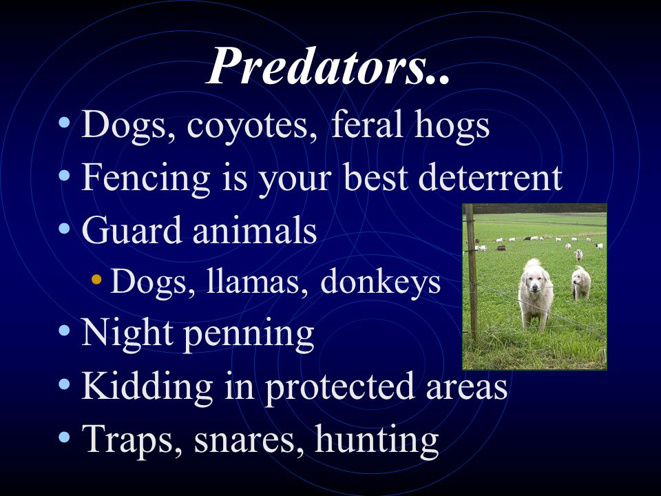Predators.. Dogs, coyotes, feral hogs Fencing is your best deterrent Guard animals Dogs, llamas, donkeys Night penning Kidding in protected areas Trap