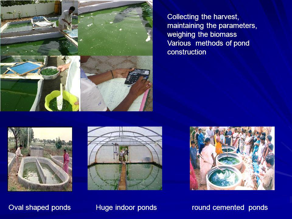 Collecting the harvest, maintaining the parameters, weighing the biomass Various methods of pond construction Oval shaped ponds Huge indoor ponds round cemented ponds