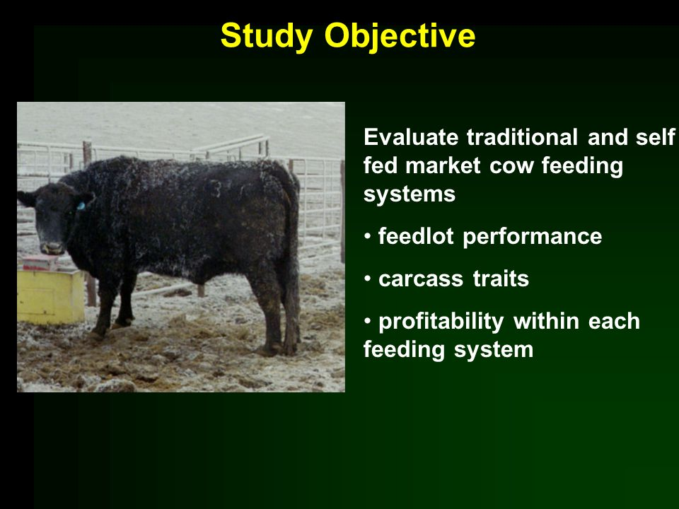 Study Objective Evaluate traditional and self fed market cow feeding systems feedlot performance carcass traits profitability within each feeding system