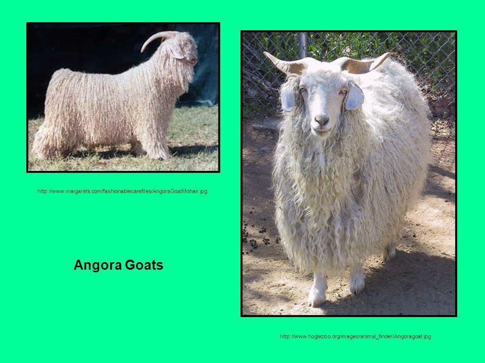 http://www.margarets.com/fashionablecarefiles/AngoraGoatMohair.jpg http://www.hoglezoo.org/images/animal_finder/Angoragoat.jpg Angora Goats