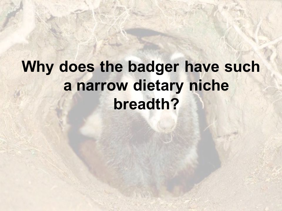 Why does the badger have such a narrow dietary niche breadth?
