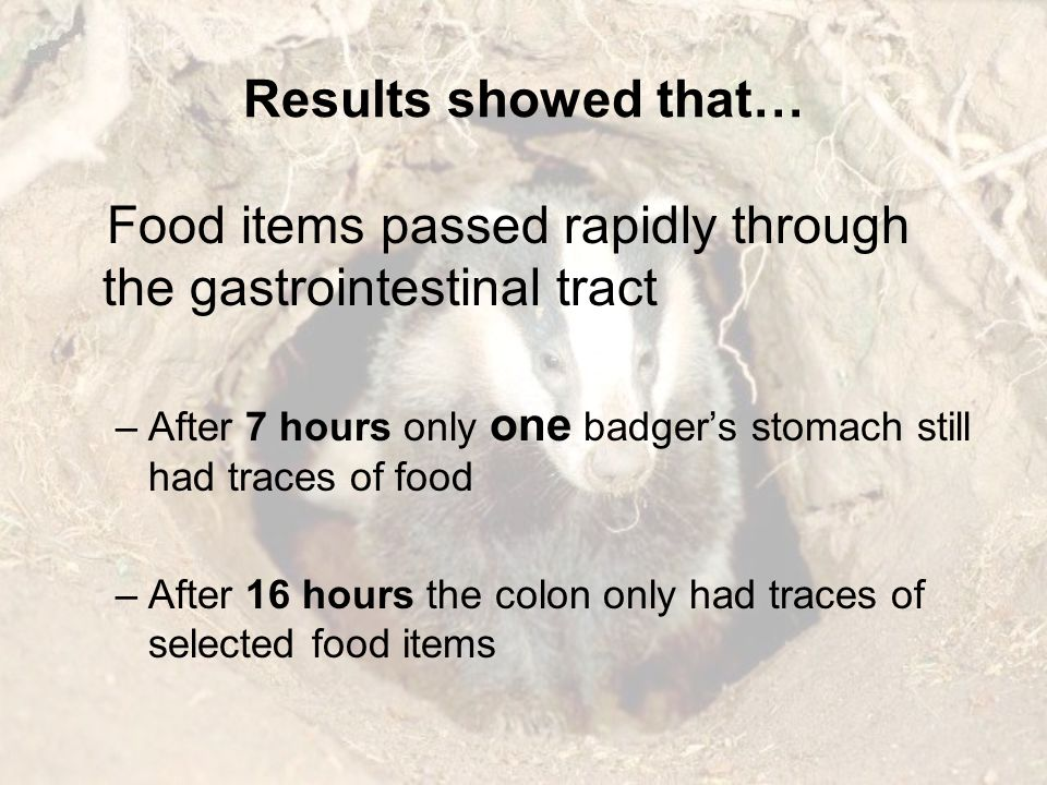 Food items passed rapidly through the gastrointestinal tract –After 7 hours only one badgers stomach still had traces of food –After 16 hours the colo