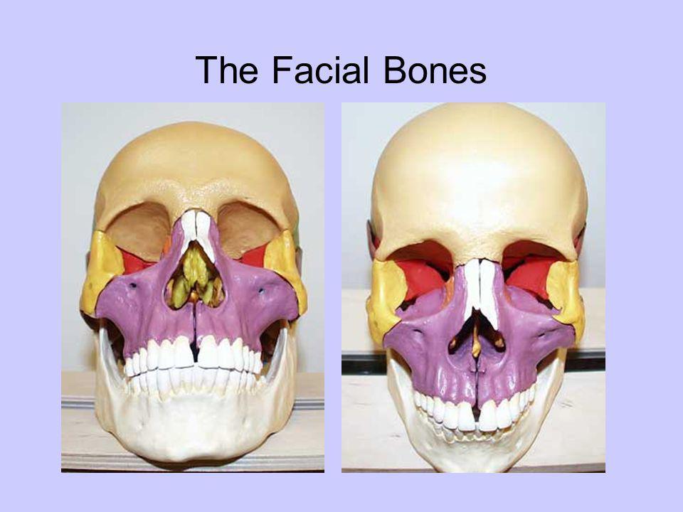 The Facial Bones
