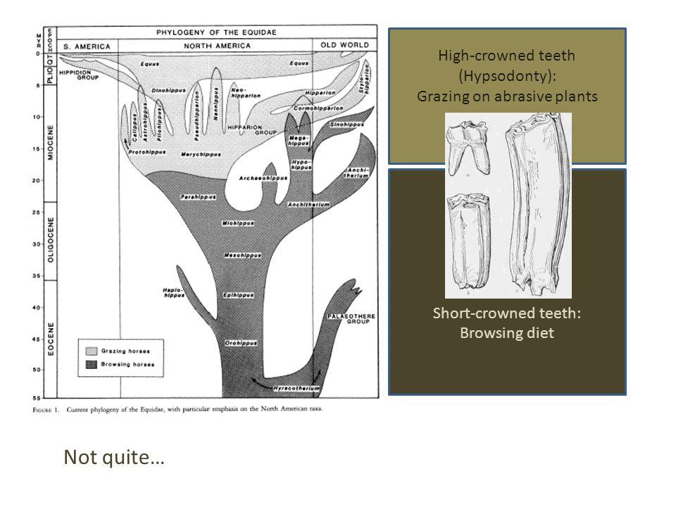 Short-crowned teeth: Browsing diet High-crowned teeth (Hypsodonty): Grazing on abrasive plants Not quite…