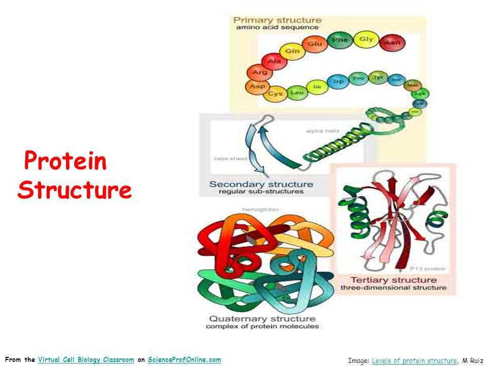Protein Structure Image: Levels of protein structure, M RuizLevels of protein structure From the Virtual Cell Biology Classroom on ScienceProfOnline.c