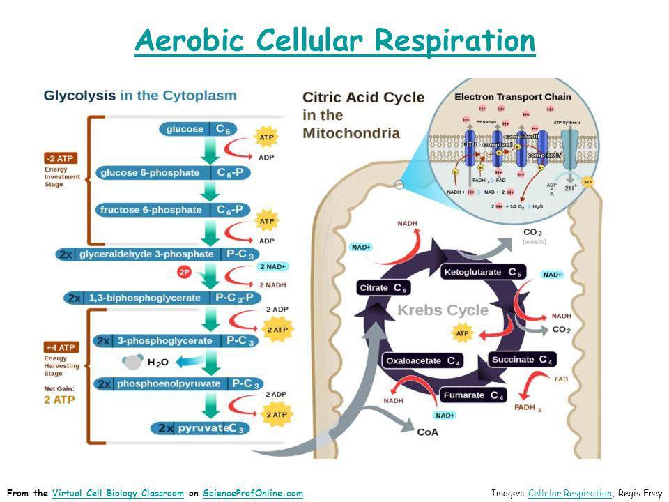 Aerobic Cellular Respiration Images: Cellular Respiration, Regis FreyCellular RespirationFrom the Virtual Cell Biology Classroom on ScienceProfOnline.